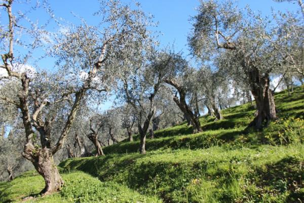 Olivenblättertee009