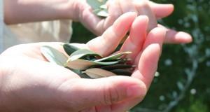 Olivenblättertee022